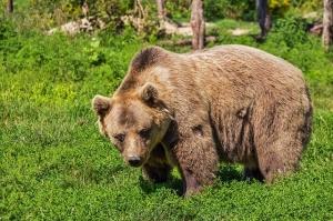 oso pardo pirineos