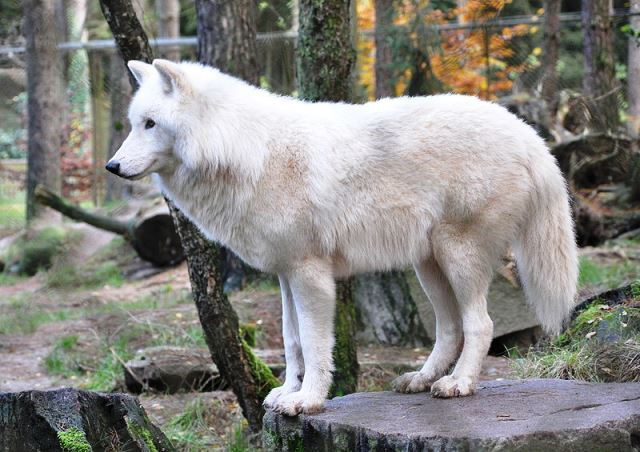 ver lobos en España